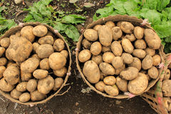 Potatoes in basket. Farmer put potatoes in a basket after harvesting time Royalty Free Stock Photography