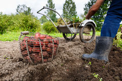 Potatoes in basket in field with farmer Royalty Free Stock Photo