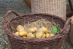 Potatoes in basket Royalty Free Stock Image