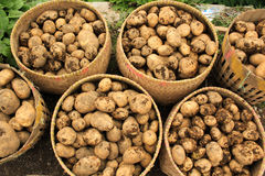 Potatoes in baskets. Potatoes placed in basket after harvesting stock images