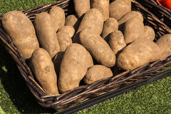 Potatoes. In the brown basket on sunny day Royalty Free Stock Image