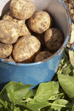 Potatoes in bucket. Fresh harvested potatoes in blue bucket Royalty Free Stock Photo