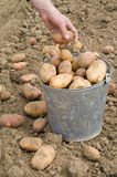 Potatoes in bucket Stock Photos