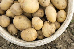 Potatoes in a bucket Stock Photo