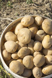 Potatoes in a bucket Stock Image