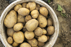 Potatoes in a bucket Stock Images