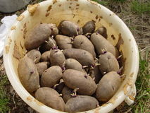 Potatoes. In a bucket for planting Royalty Free Stock Photos