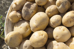 Potatoes in a bucket Royalty Free Stock Image
