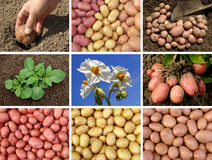 Potatoes collection Stock Photo