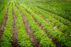 Potatoes cultivation. Photo of potatoes field in the Poland Royalty Free Stock Photo