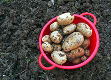 Potatoes dug from garden. Home grown spuds - poor condition soil but that is how it was Royalty Free Stock Photography