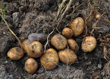 Potatoes are dug out of the bed. Potato tubers with roots and a lace, just dug out of the soil stock images