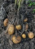 Potatoes are dug out of the bed. Potato tubers with roots and a lace, just dug out of the soil royalty free stock photography