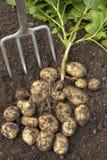 Potatoes dug out of soil Stock Photo
