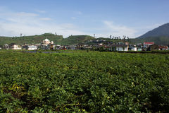 Potatoes farm in Dieng, Indonesia Royalty Free Stock Photo