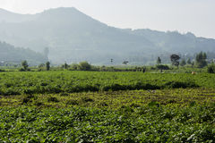 Potatoes farm in Dieng, Indonesia Stock Image