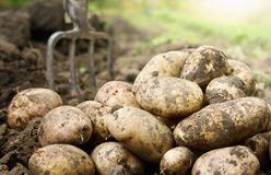 Potatoes in the field stock images