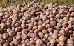 Potatoes on the field. Fresh, dirty, just gathered from the field potatoes stock images