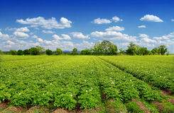 Potatoes field Royalty Free Stock Images