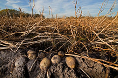 Potatoes on a field Stock Photos