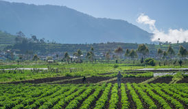 Potatoes Field at Dieng Wonosobo. Farmer is working at Potatoes Field in Dieng Wonosobo Royalty Free Stock Photo