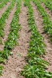 Potatoes field Royalty Free Stock Photography