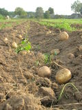 Potatoes on the field Royalty Free Stock Photos