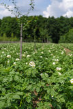 Potatoes field on summer Royalty Free Stock Photo