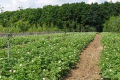 Potatoes field on summer Stock Photos