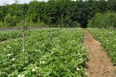 Potatoes field on summer Stock Image