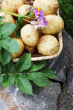 Potatoes with flower Royalty Free Stock Images