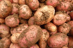 Potatoes. Fresh potatoes from organic production Royalty Free Stock Images