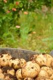 Potatoes freshly dug. Details of potatoes freshly dug Royalty Free Stock Photography