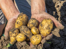 Potatoes freshly dug from the earth Stock Photography