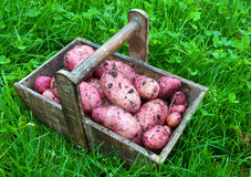 Potatoes from the garden stock photography
