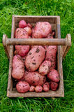 Potatoes from the garden royalty free stock photo