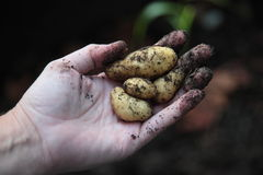 Potatoes from the garden Stock Image