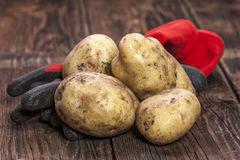 Potatoes and garden gloves. Royalty Free Stock Images