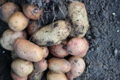 Potatoes on the ground Royalty Free Stock Photo