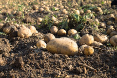 Potatoes on the ground Royalty Free Stock Images