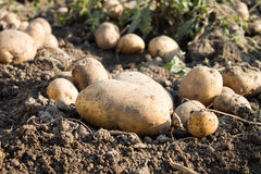 Potatoes on the ground Stock Image
