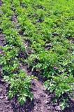 Potatoes growing in the garden Stock Photo