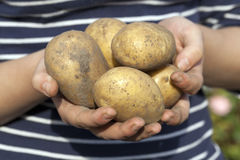 Potatoes in hand Royalty Free Stock Photos