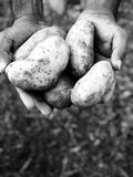 Potatoes in hand. From farm stock image