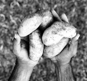 Potatoes in hand. From farm royalty free stock photo