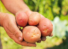 Potatoes in hands Royalty Free Stock Image