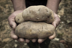 Potatoes in hands Royalty Free Stock Photo