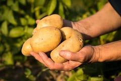 Potatoes On Hands Of Woman On Potato Field. Harvesting Potatoes. Fresh Yellow Potatoes On Hands Of Elderly Woman On Sunny Potato Field Summer Royalty Free Stock Photography