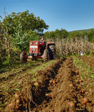 Potatoes harvest Stock Images