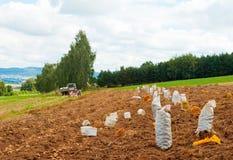Potatoes harvest Stock Photo